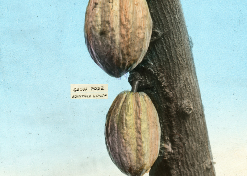 Lantern slide image. Two cocoa pods on a tree branch, with the caption 'Rowntree and Co. Ltd'.